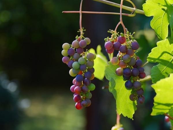 Os benefícios que o vinho traz para a saúde - Cacho de uva